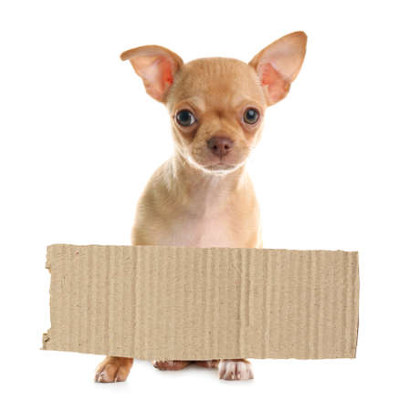 Cute little Chihuahua puppy and blank piece of cardboad on white background. Lonely pet Stock Photo