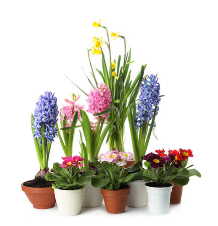 Different beautiful potted flowers on white background
