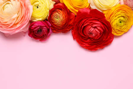 Beautiful ranunculus flowers on pink background, flat lay. Space for text