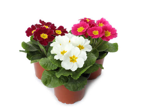 Beautiful primula (primrose) plants with colorful flowers on white background. Spring blossom