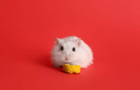 Cute funny pearl hamster feeding on red background, space for text