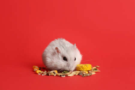 Cute funny pearl hamster eating on red background
