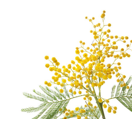 Beautiful mimosa plant with yellow flowers on white background