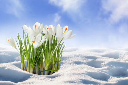 Beautiful spring crocus flowers growing through snow outdoors, space for text