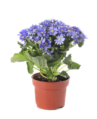Beautiful purple cineraria plant in flower pot isolated on white