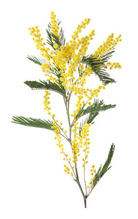 Beautiful mimosa plant with yellow flowers isolated on white Stock Photo