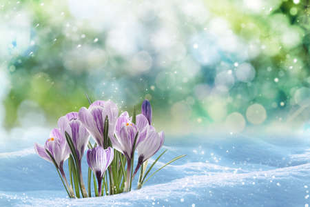 Beautiful spring crocus flowers growing through snow outdoors on sunny day, space for text