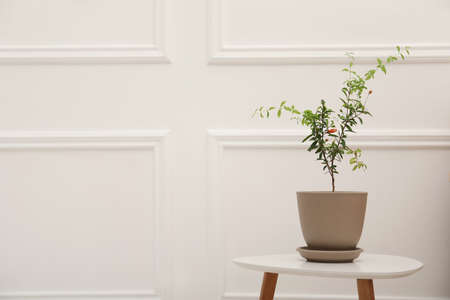 Young potted pomegranate tree on table near white wall indoors, space for text Archivio Fotografico