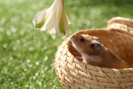 Cute little hamster in wicker bowl smelling flower outdoors, closeup Stockfoto