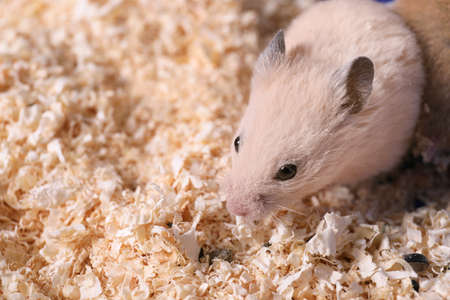 Cute little fluffy hamster on wooden shavings. Space for text