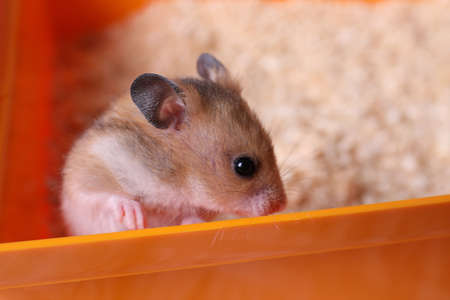 Cute fluffy pearl hamster at home, closeup Stockfoto