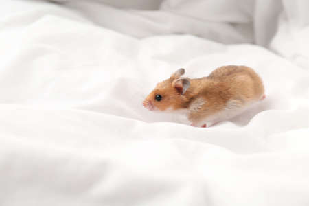 Cute little hamster in white fabric, space for text