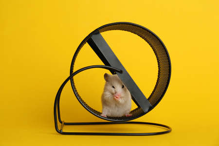 Cute little hamster in spinning wheel on yellow background