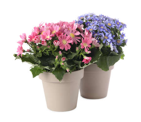 Different cineraria plants in flower pots on white background Stockfoto