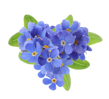 Delicate blue forget me not flowers on white background
