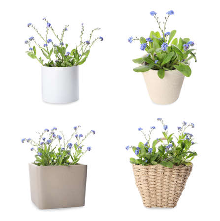 Set with beautiful tender forget me not flowers on white background Stockfoto