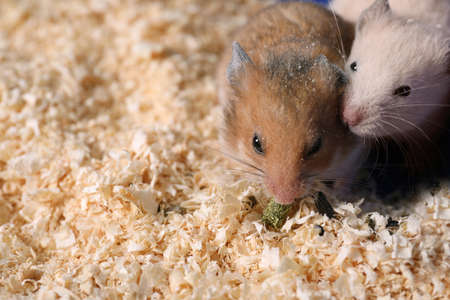 Cute little fluffy hamsters in cage. Space for text