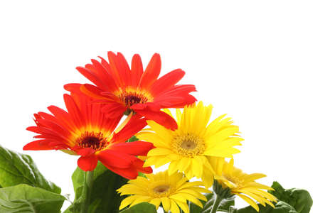 Beautiful colorful gerbera flowers on white background