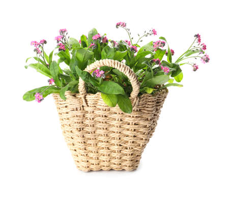 Beautiful potted Forget-me-not flowers in basket on white background