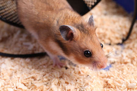 Cute little hamster in tray, closeup view