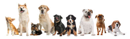 Group of different cute dogs on white background. Banner design