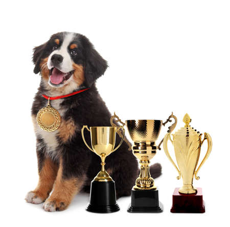 Cute Bernese Mountain dog with gold medal and trophy cups on white background