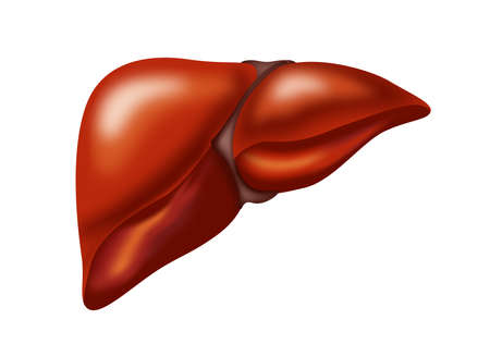 Illustration of liver on white background. Human anatomy 版權商用圖片