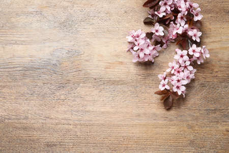 Beautiful sakura tree blossoms on wooden background, flat lay. Space for text