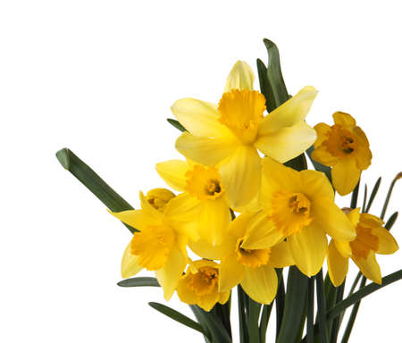 Beautiful blooming yellow daffodils on white background