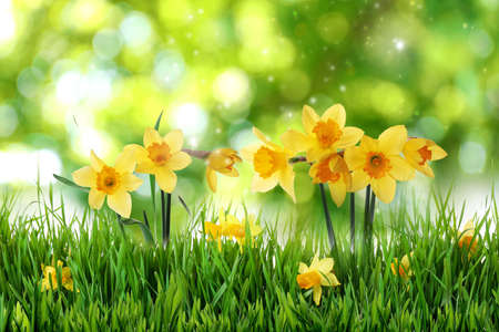 Beautiful blooming yellow daffodils outdoors on sunny day Imagens