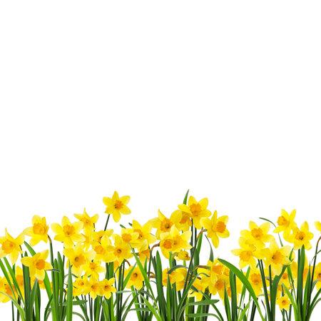 Many beautiful yellow daffodils on white background