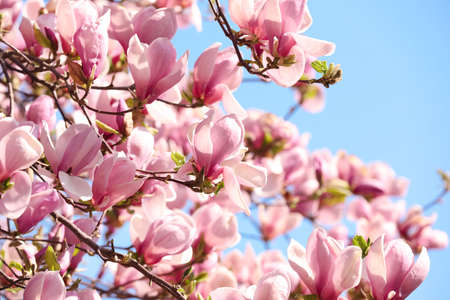 Beautiful magnolia tree with pink blossom outdoors. Spring season