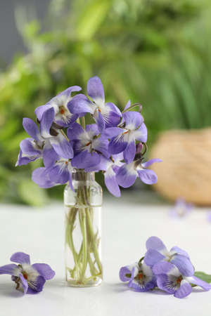 Beautiful wood violets on white table. Spring flowers