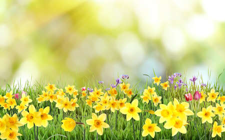 Beautiful blooming yellow daffodils outdoors on sunny day Stockfoto