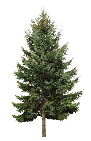 Beautiful evergreen fir tree on white background