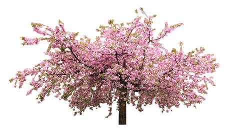 Beautiful blossoming sakura tree on white background. Banner design Banco de Imagens