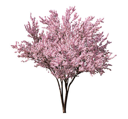 Beautiful blossoming sakura tree on white background Banque d'images