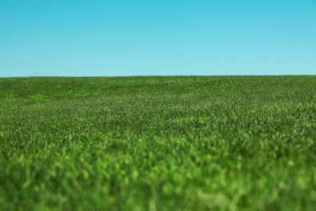 Fresh green grass growing under blue sky outdoors