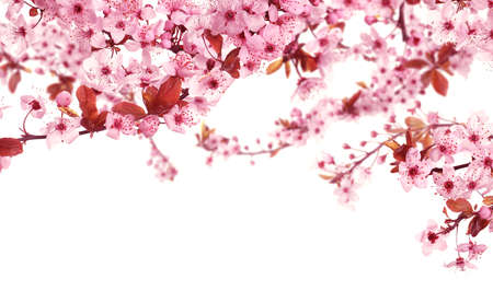Beautiful sakura tree branches with delicate pink flowers on white background Stockfoto