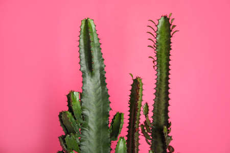 Beautiful cacti on pink background. Tropical plant
