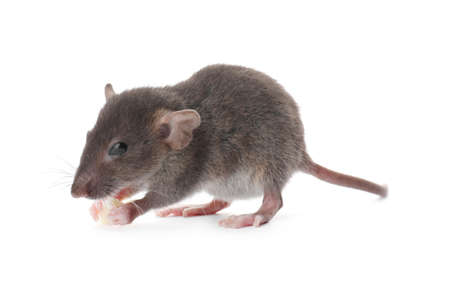 Small brown rat with piece of cheese on white background