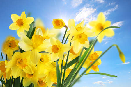 Beautiful yellow daffodils outdoors on sunny day