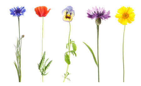 Collection of different beautiful wild flowers on white background