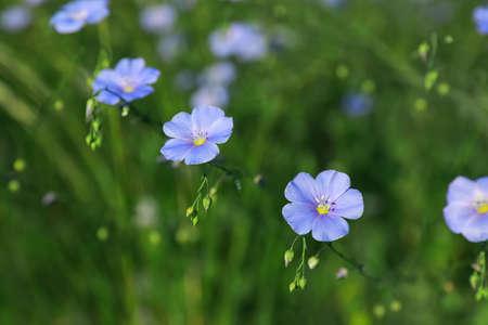 Many beautiful blooming flax plants in meadow 版權商用圖片