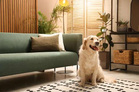 Modern living room interior. Cute Golden Labrador Retriever on floor near couch Фото со стока
