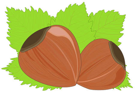 Two hazelnuts among the leaves Illustration