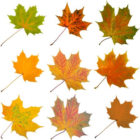 Der Satz Herbstahornblätter isoliert auf weißem Hintergrund Standard-Bild