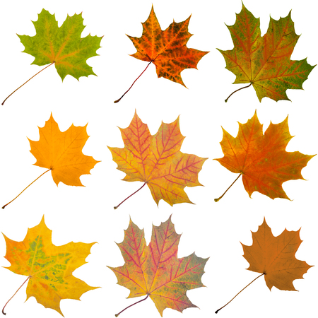 The set of Autumn maple leaves isolated on white background Archivio Fotografico