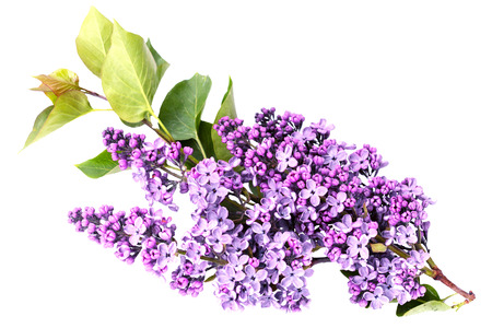 Syringa vulgaris, Lilac. Purple lilac flower on white background. 版權商用圖片