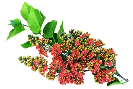 Syringa vulgaris, Spring Lilac flower on white background. 版權商用圖片